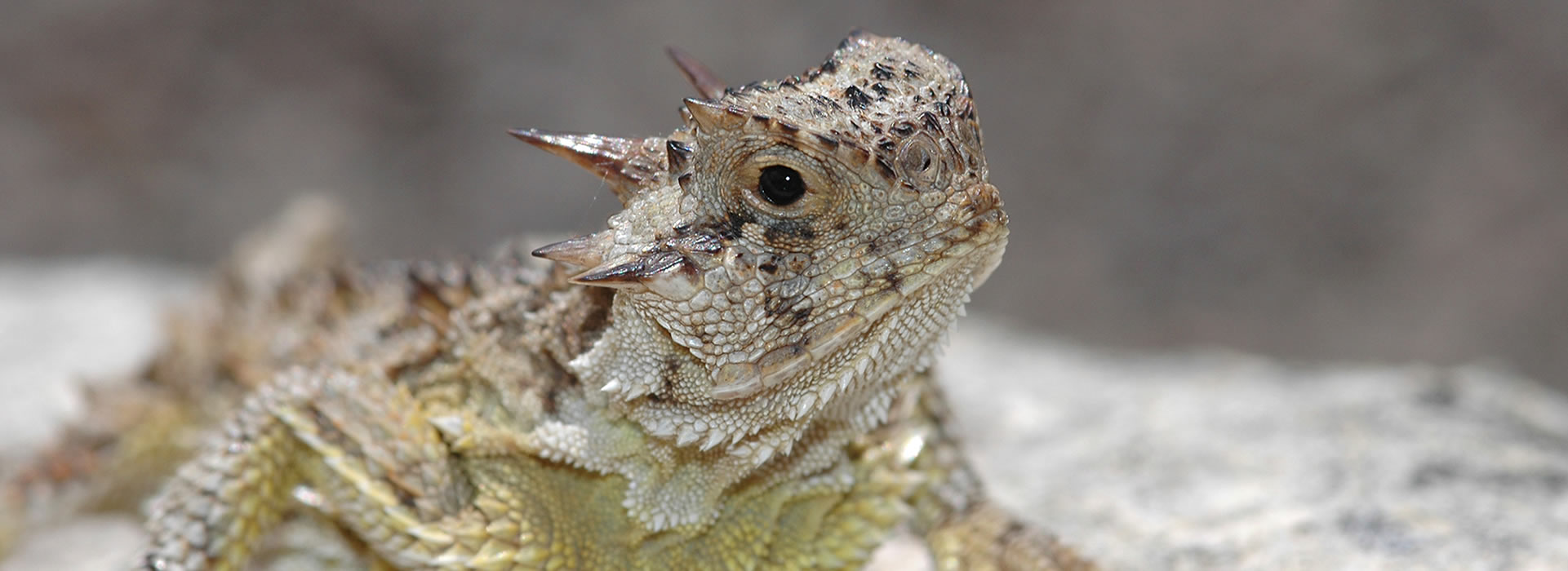 ...and Horned Lizards...