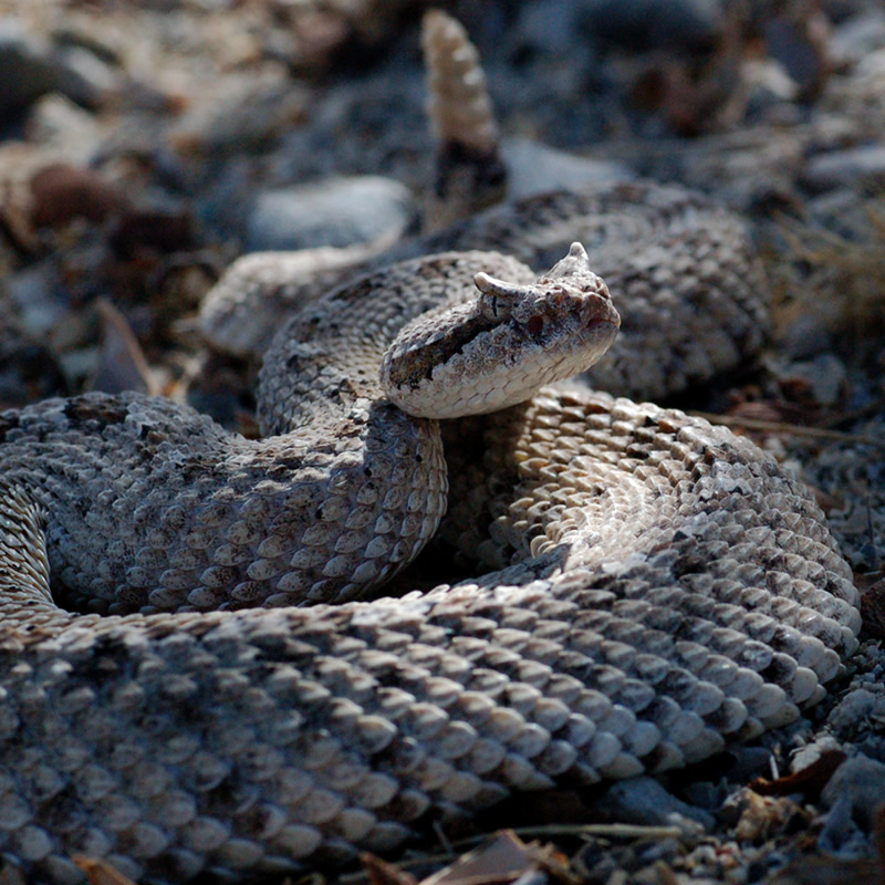 Sidewinder Rattlesnake • Facts • Desert Animals